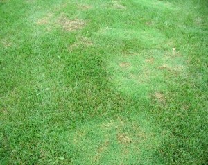 Creeping Bentgrass patches infesting lawn
