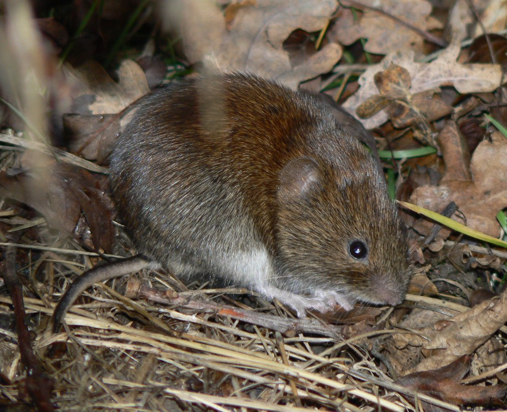 Winter Lawn Tips: Vole Damage - Featured Image