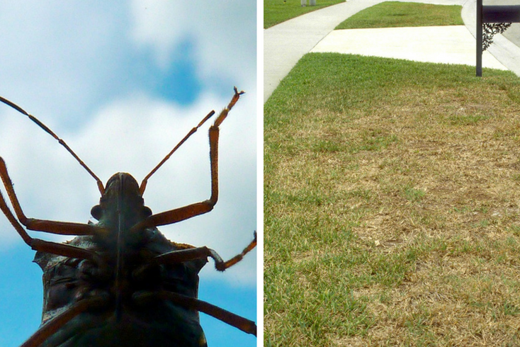 Chinch bugs are common lawn insects that can cause extensive damage if left untreated.
