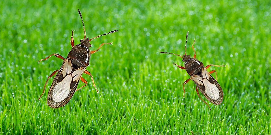 Only the adult chinch bugs cause real damage to your lawn.