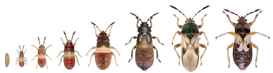 Chinch bugs can be identified in their nymphal life stage by their bright red coloured body.