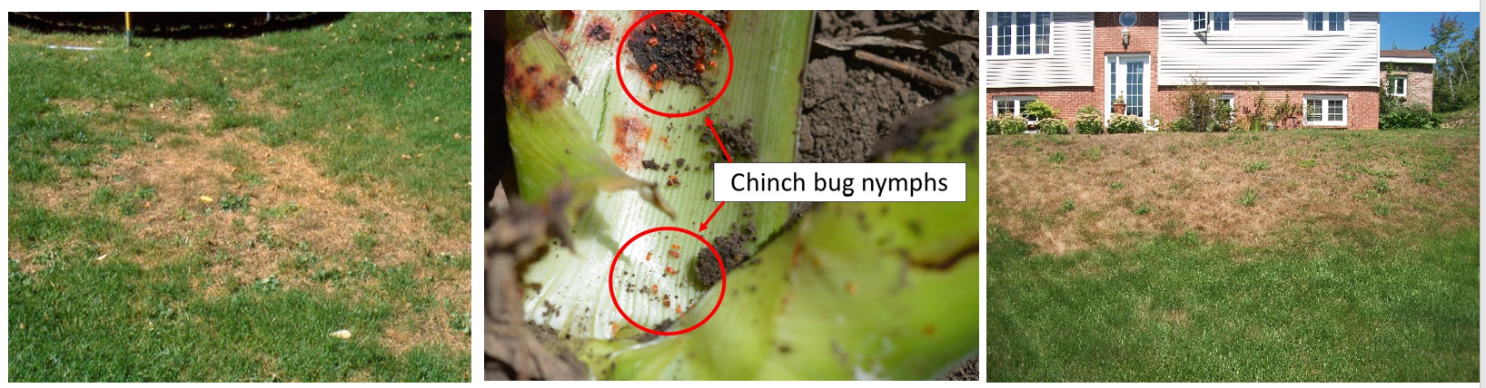 Chinch bugs are most active in spring and summer.