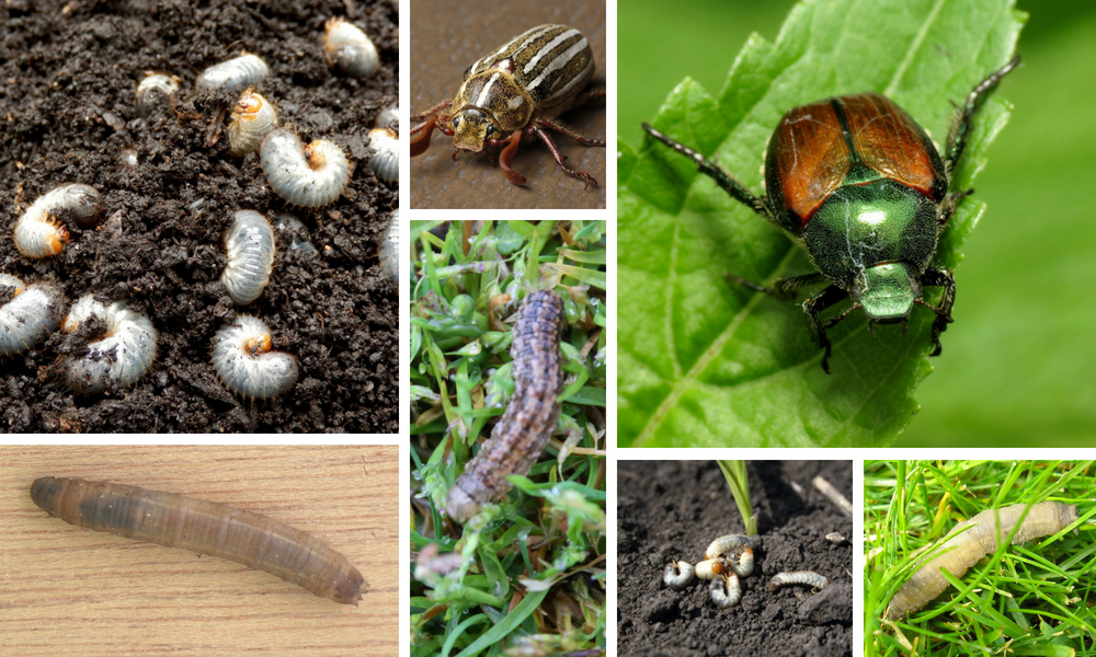 Lawn pests such as white grubs are often a difficult-to-detect issue for the average homeowner until it's too late.