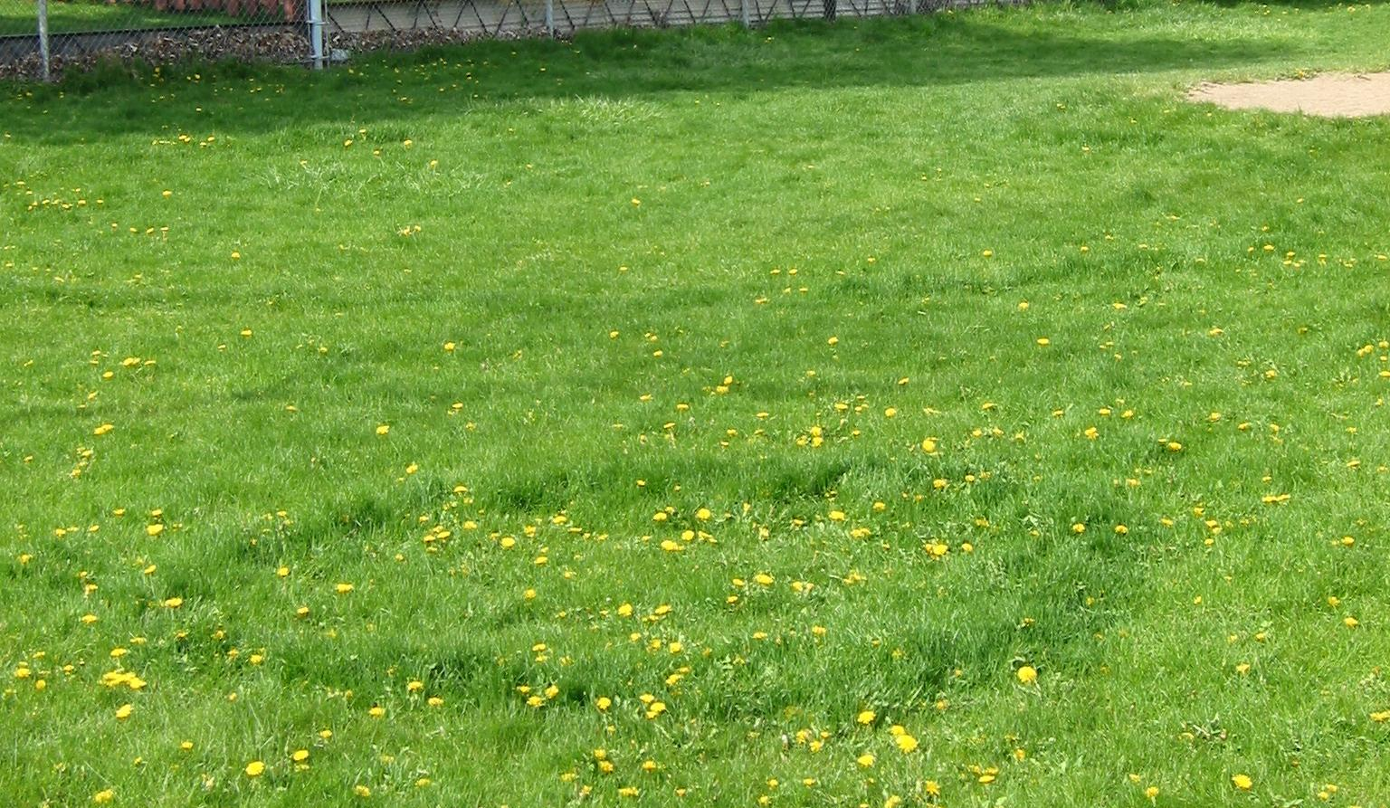 Fairy ring disease is common in all cool season grass species.