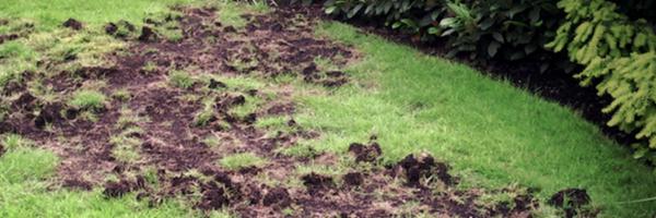 Animal damage on a lawn.