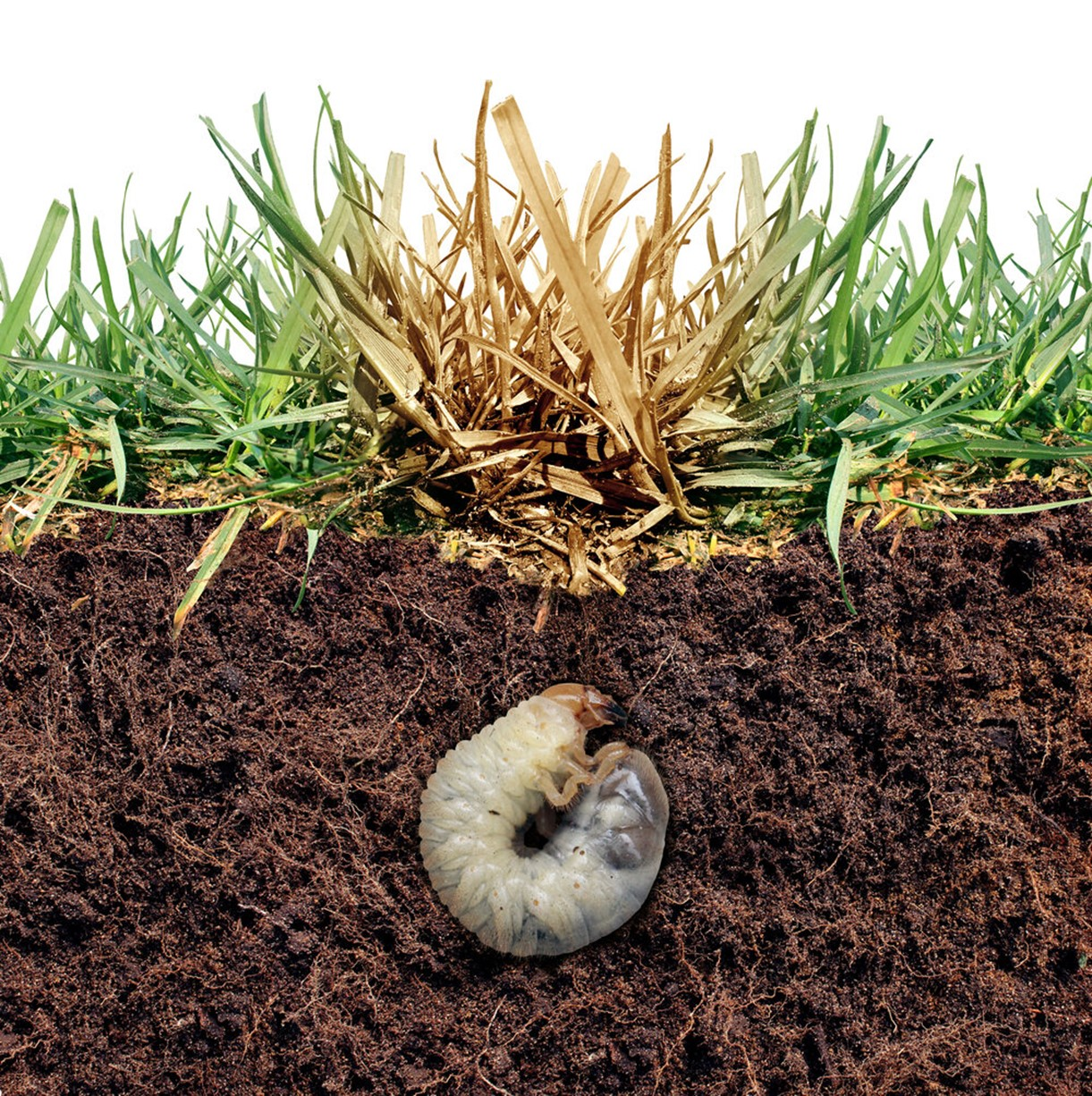 Brown spots on the lawn often signal grubs.