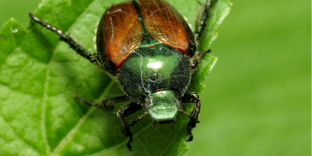 The Japanese beetle is a common white grub species that attacks lawns across Canada, completing its life cycle in one year.