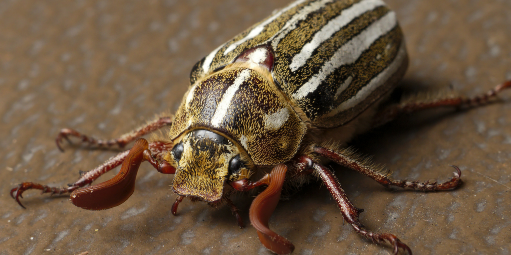 The life cycle of the June beetle is much more complex than other grub species such as the European chafer and Japanese beetle.