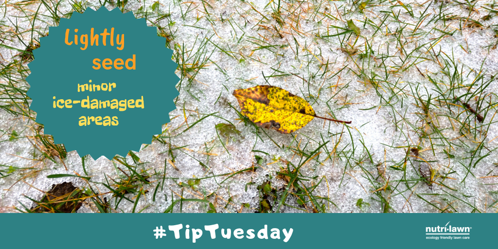 The extent of the turf damage is first visible when the snow and ice melt away, and in many cases this damage may be isolated to only certain areas of the lawn.