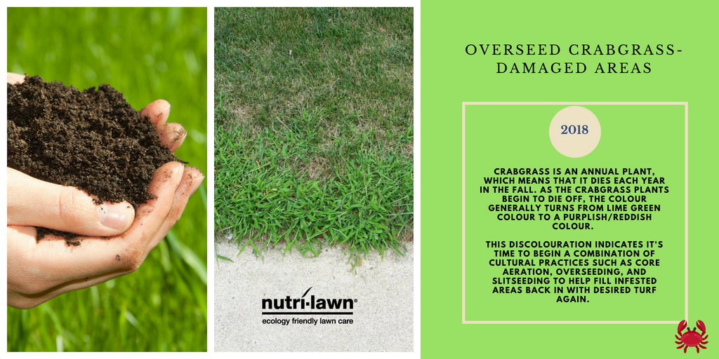 Crabgrass is one of the most common grassy weeds that invades home lawns during the summer.