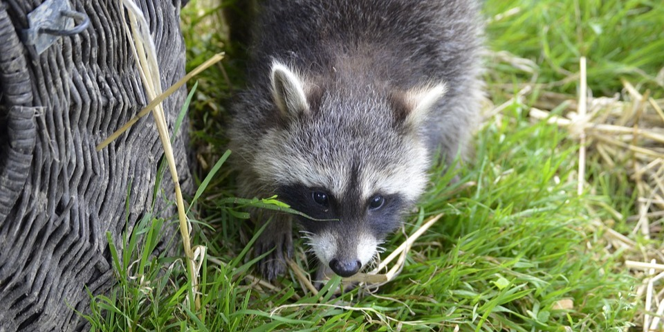 Raccoons could be damaging your lawn.