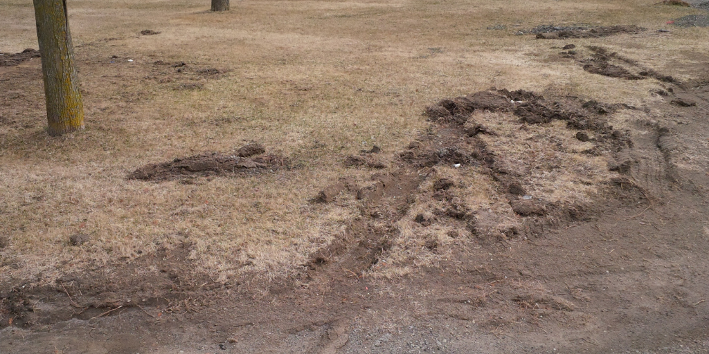 Snow plow damage can remove sections of turf completely.