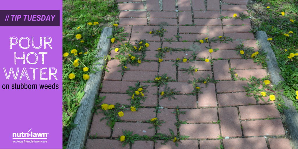 Many weeds can tolerate compacted soils better than turfgrass.