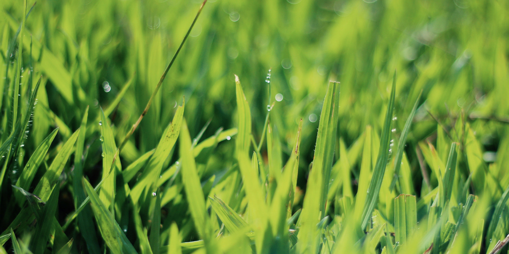 Cool season turfgrasses grow most actively in the spring, due to the combination of optimal temperatures and rain in most regions.