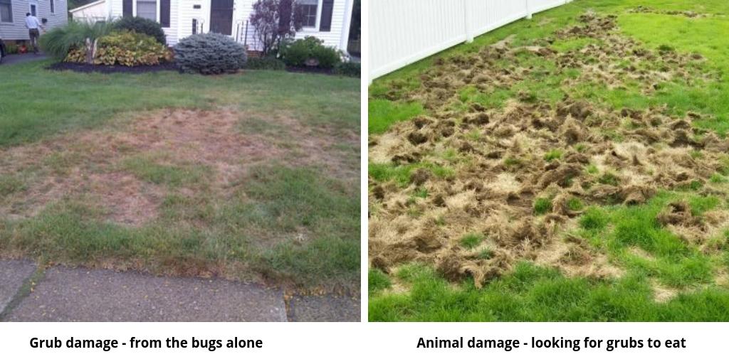 Grub damage can lead to animal damage.