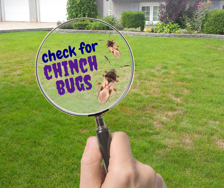 Chinch bugs are notorious surface feeding insects.