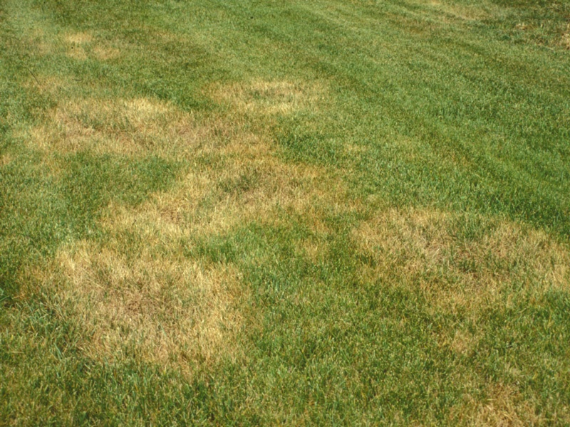 There are several common turfgrass diseases that can affect and cause damage to a lawn.