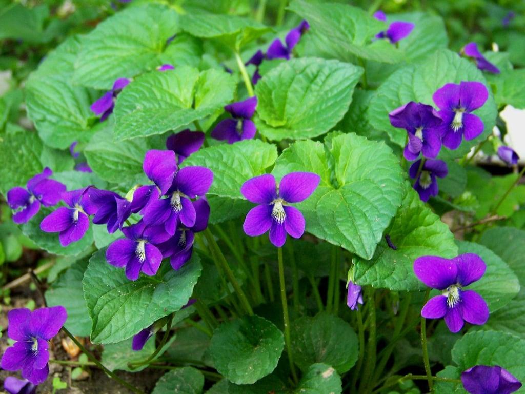 Weed of the week wild violets closeupwv mightylinksfo