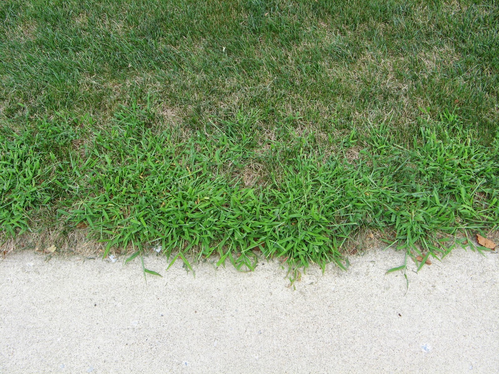 Crabgrass loves hot, dry conditions and easily out-competes the desired turfgrass.