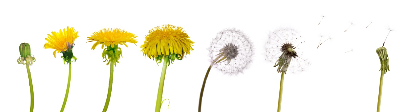 Even in the most well-nourished lawns, dandelions can be very competitive.