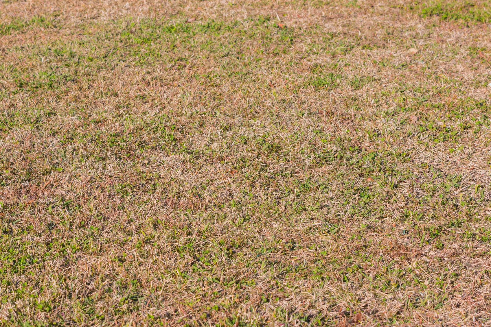 In hot and dry weather, homeowners across Canada start to wonder what is going on with their brown lawn.