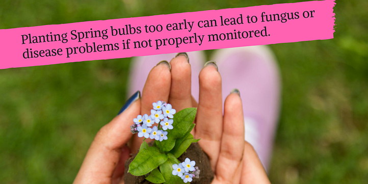 Bulbs can get fungus if planted too early