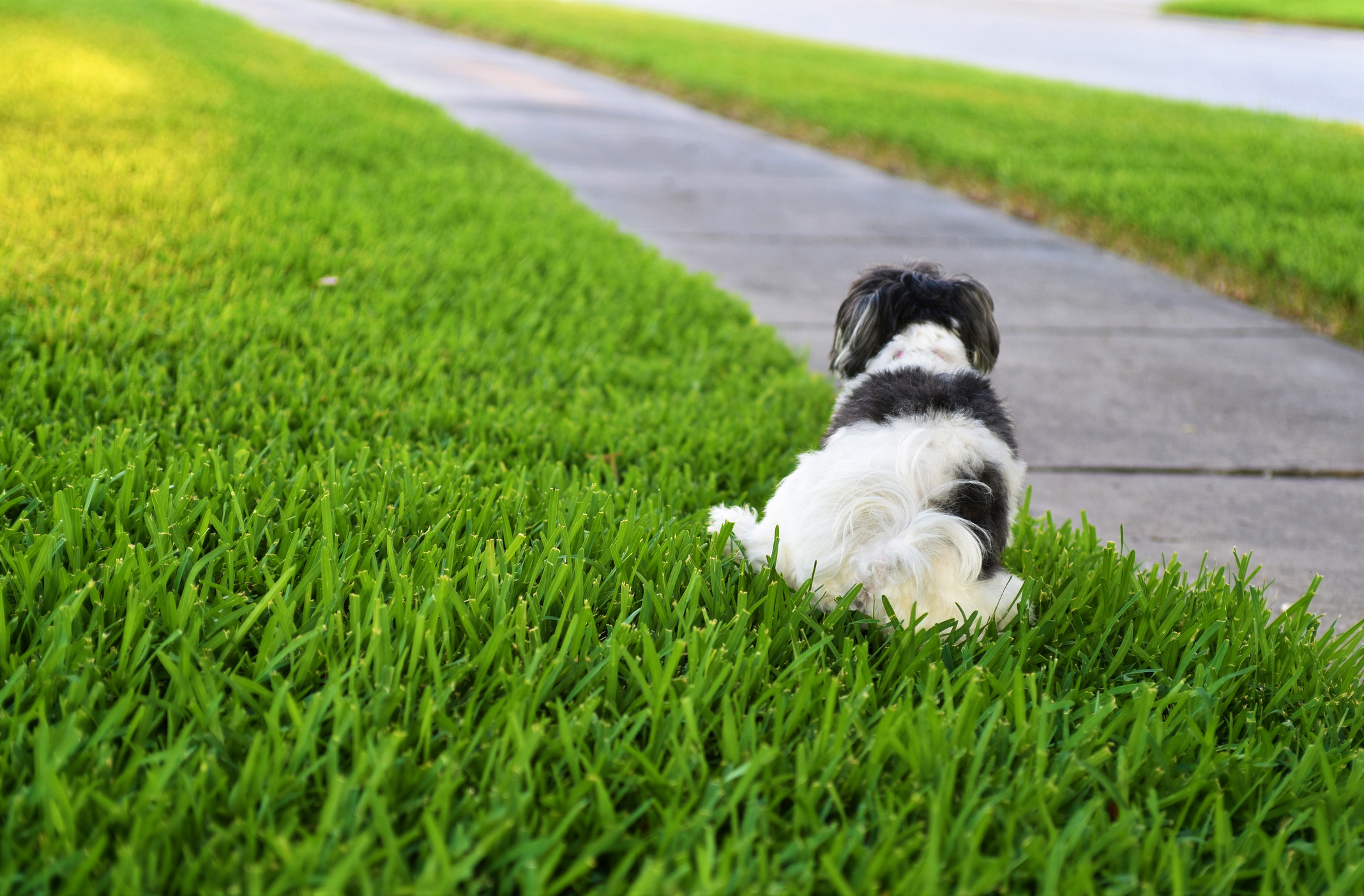 Dog urine can cause considerable damage to all turf grass species.