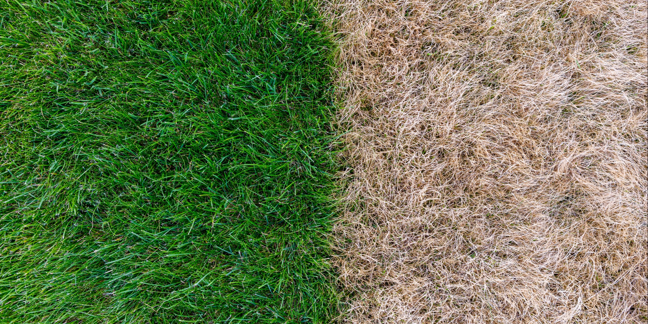 Each turfgrass species performs differently under drought conditions.