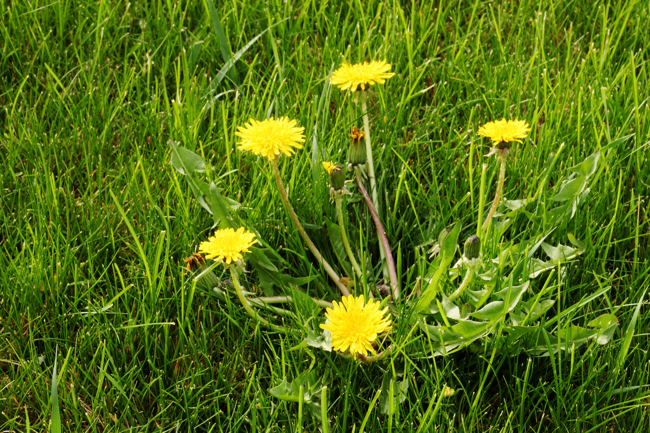 Weeds are a big issue for Nutri-Lawn customers.