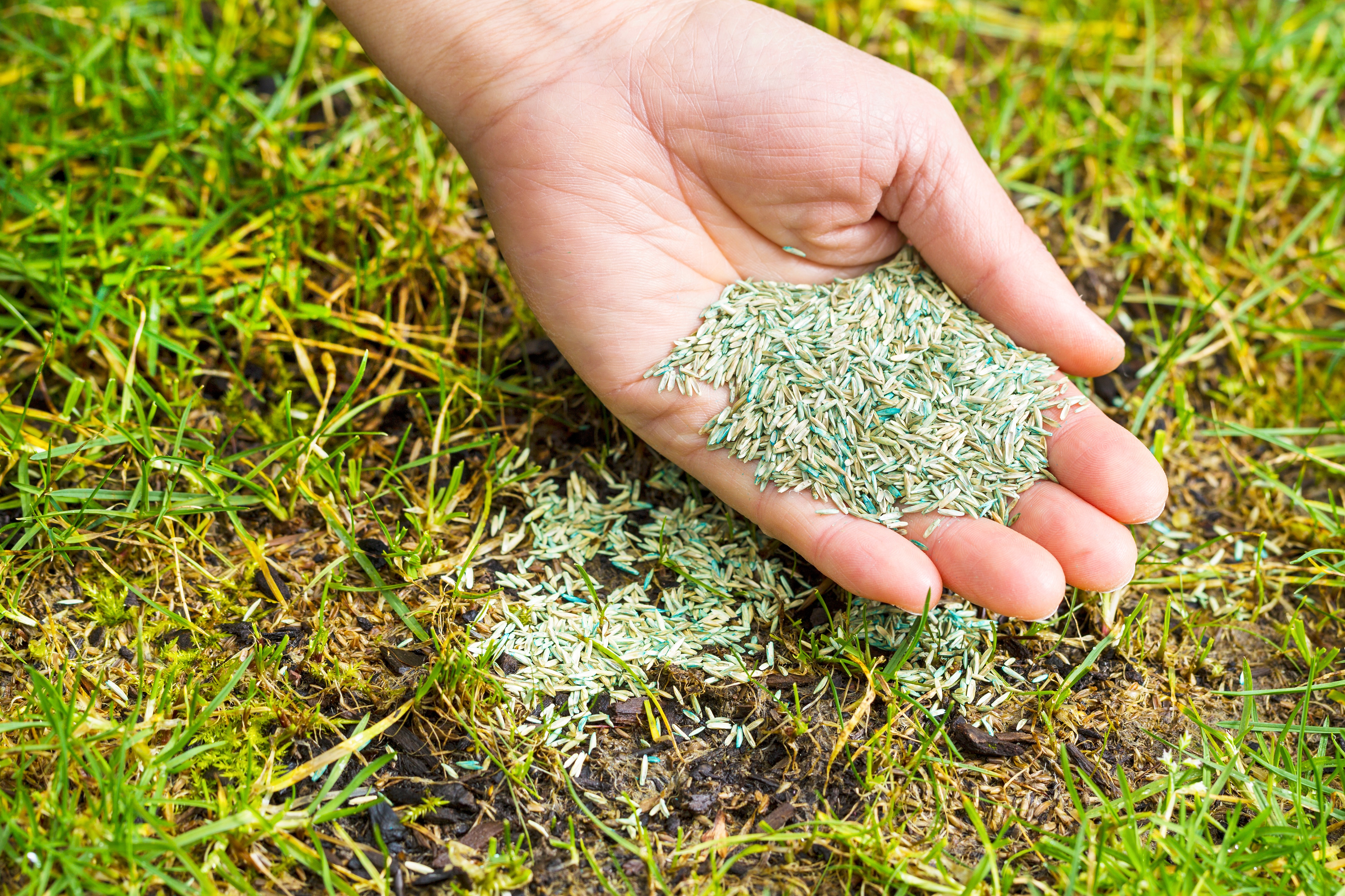 Overseeding is the practice of adding new grass seed into a lawn.