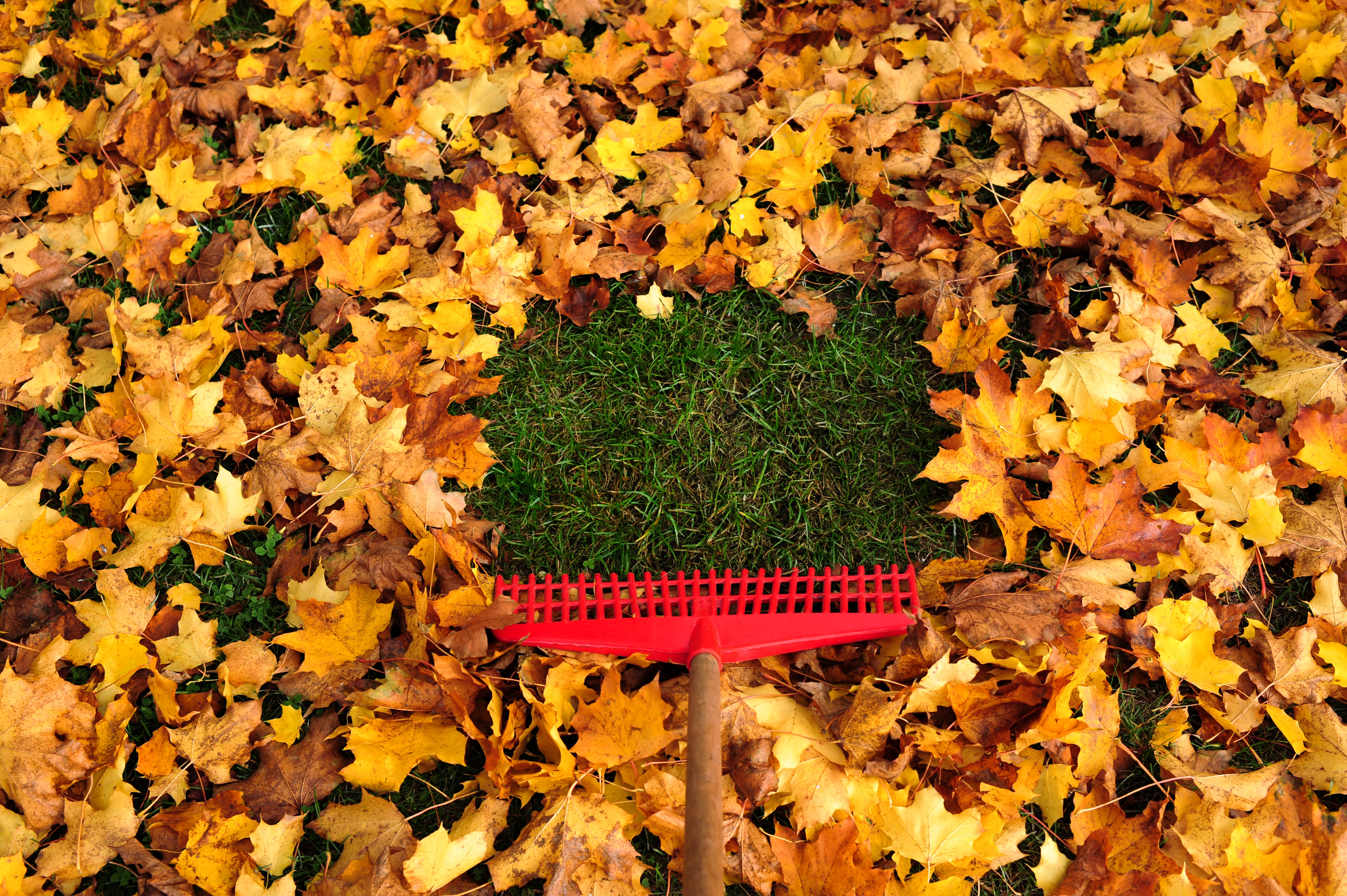 When it comes to fall lawn care, fallen leaves should be raked up as soon as possible.