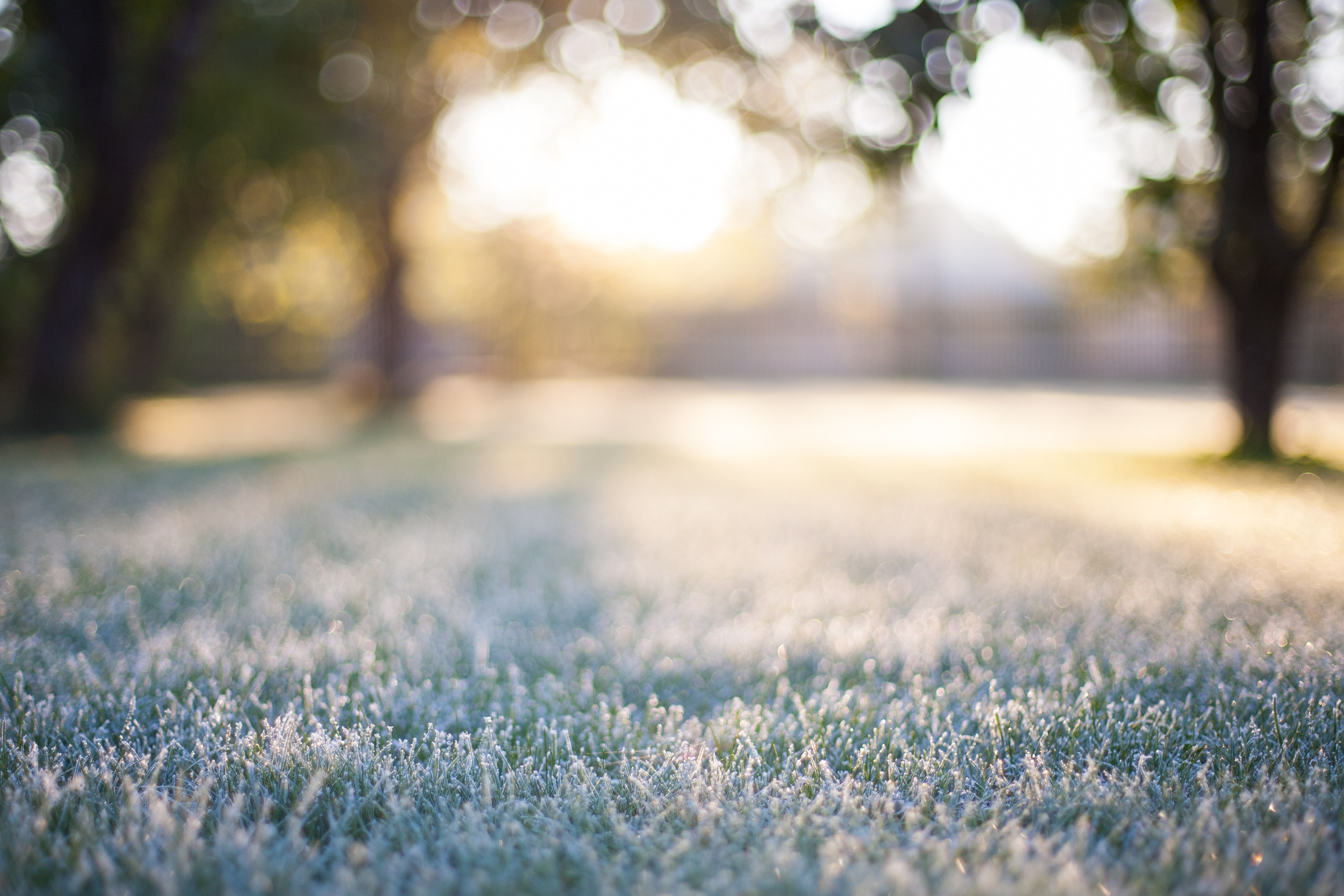 All turfgrass species are prone to winter desiccation.