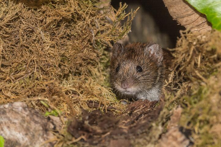 Voles are small rodents that look like mice.