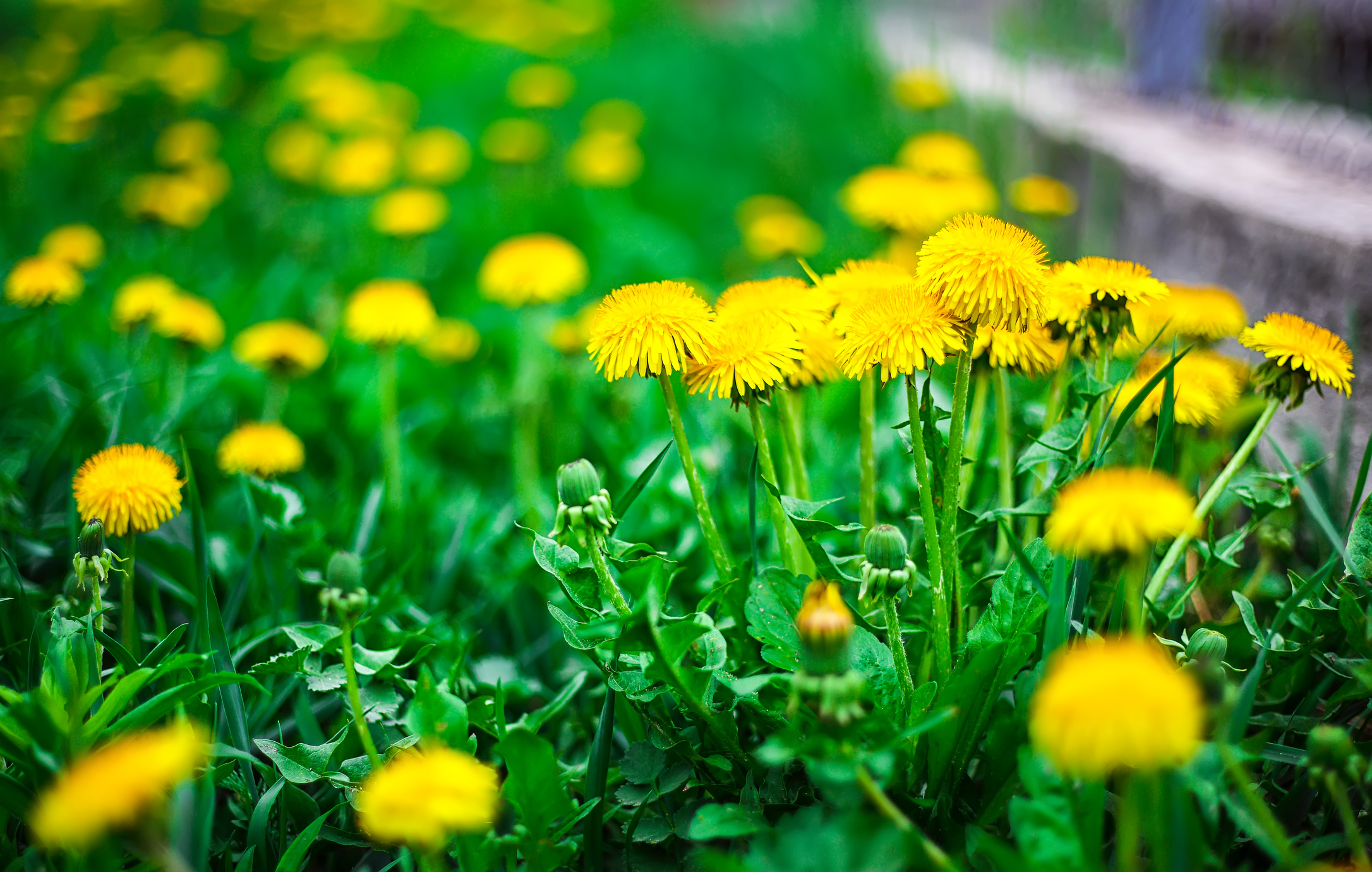 A healthy lawn is the best defense against weeds.