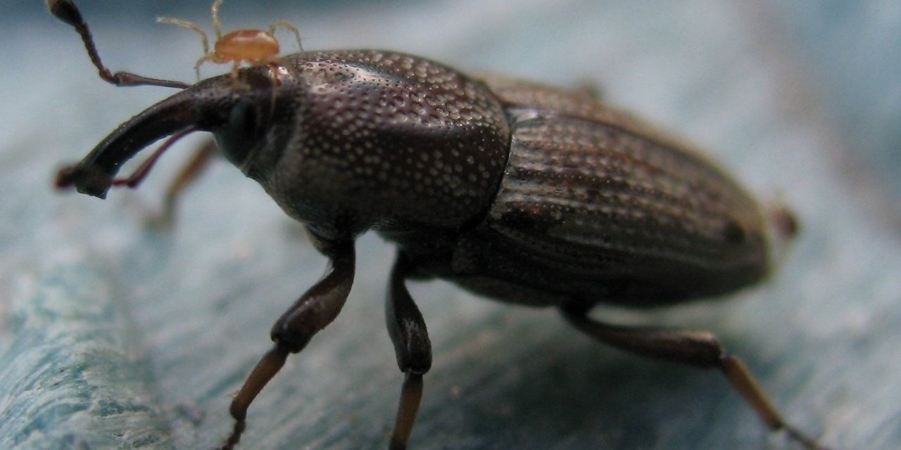 lawn-insect-bluegrass-billbug.jpg