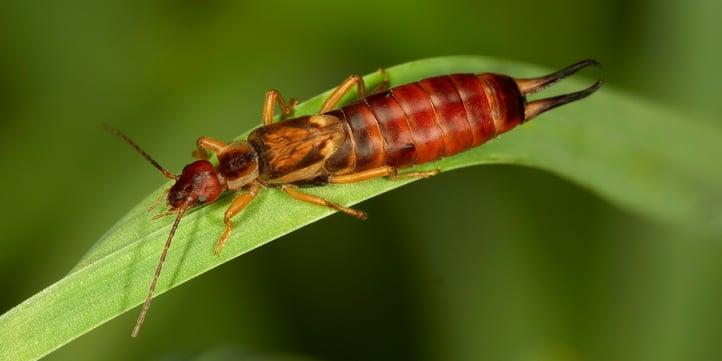 lawn-insect-european-earwig.jpg