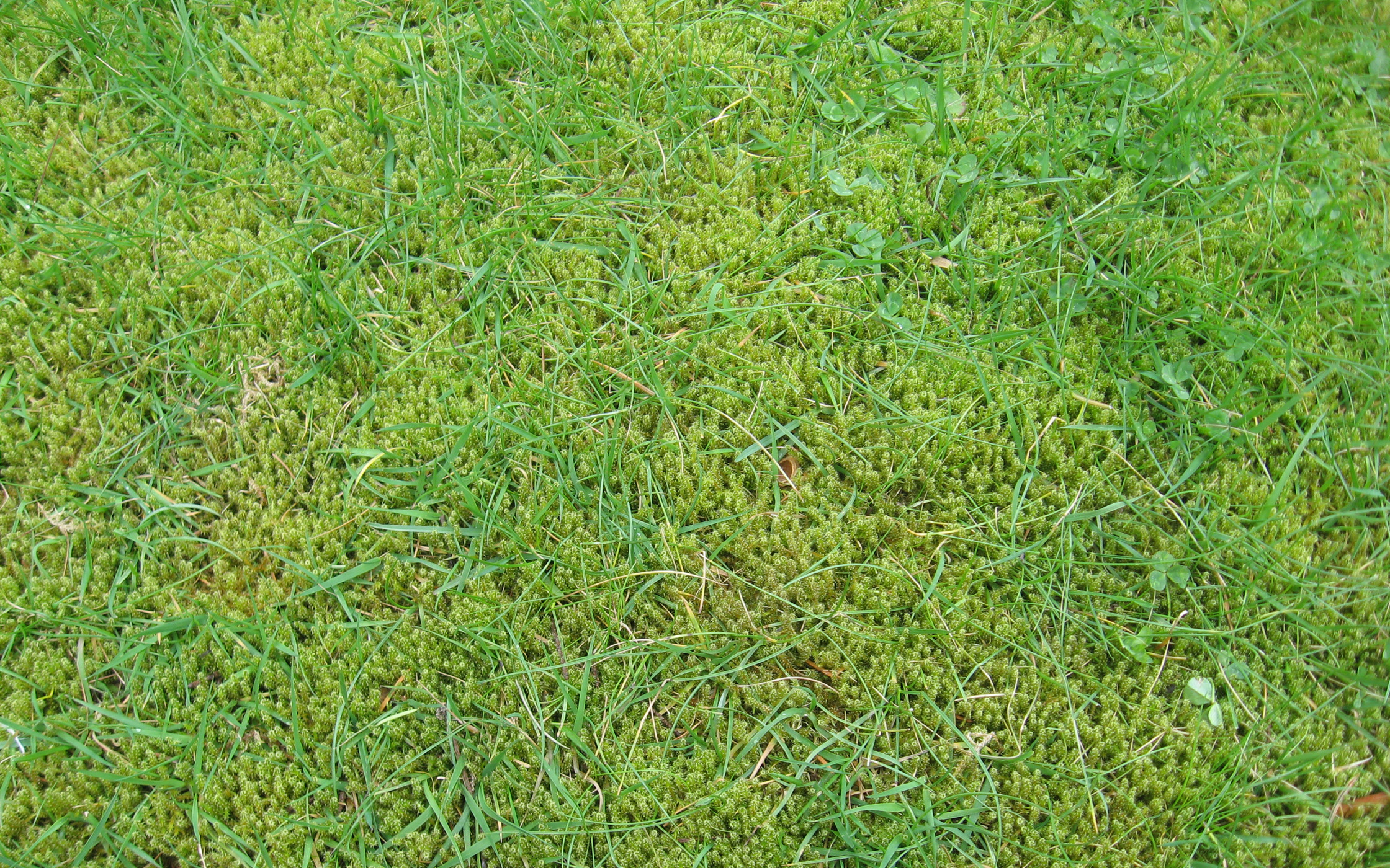 Lawn moss is very common.
