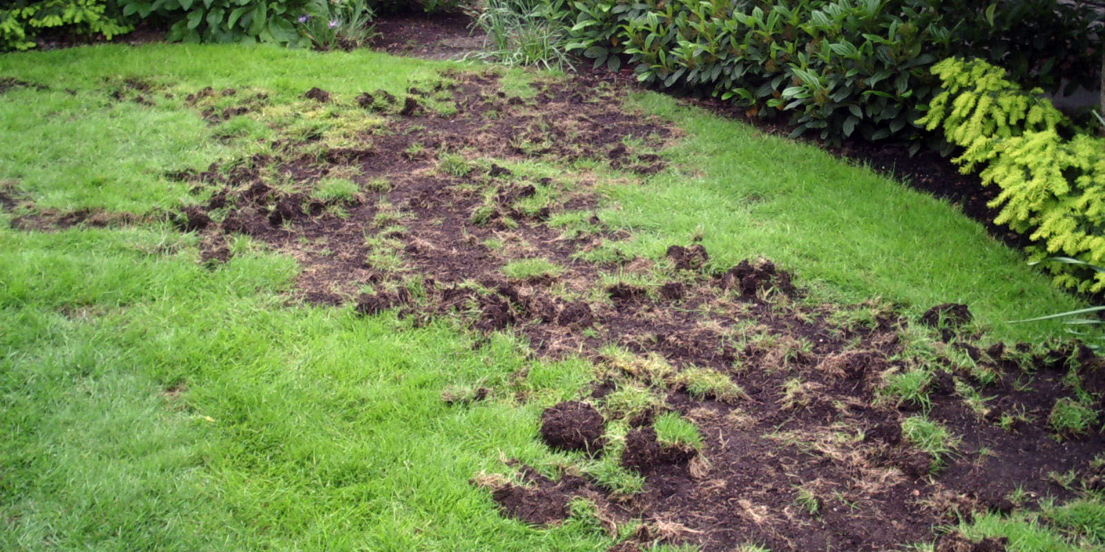 raccoons, skunks and crows can tear up your lawn, looking for pests.
