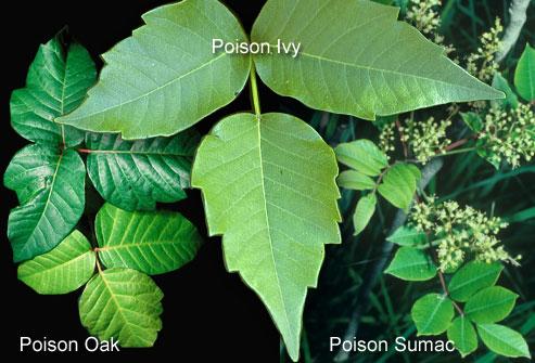 poison_ivy-1