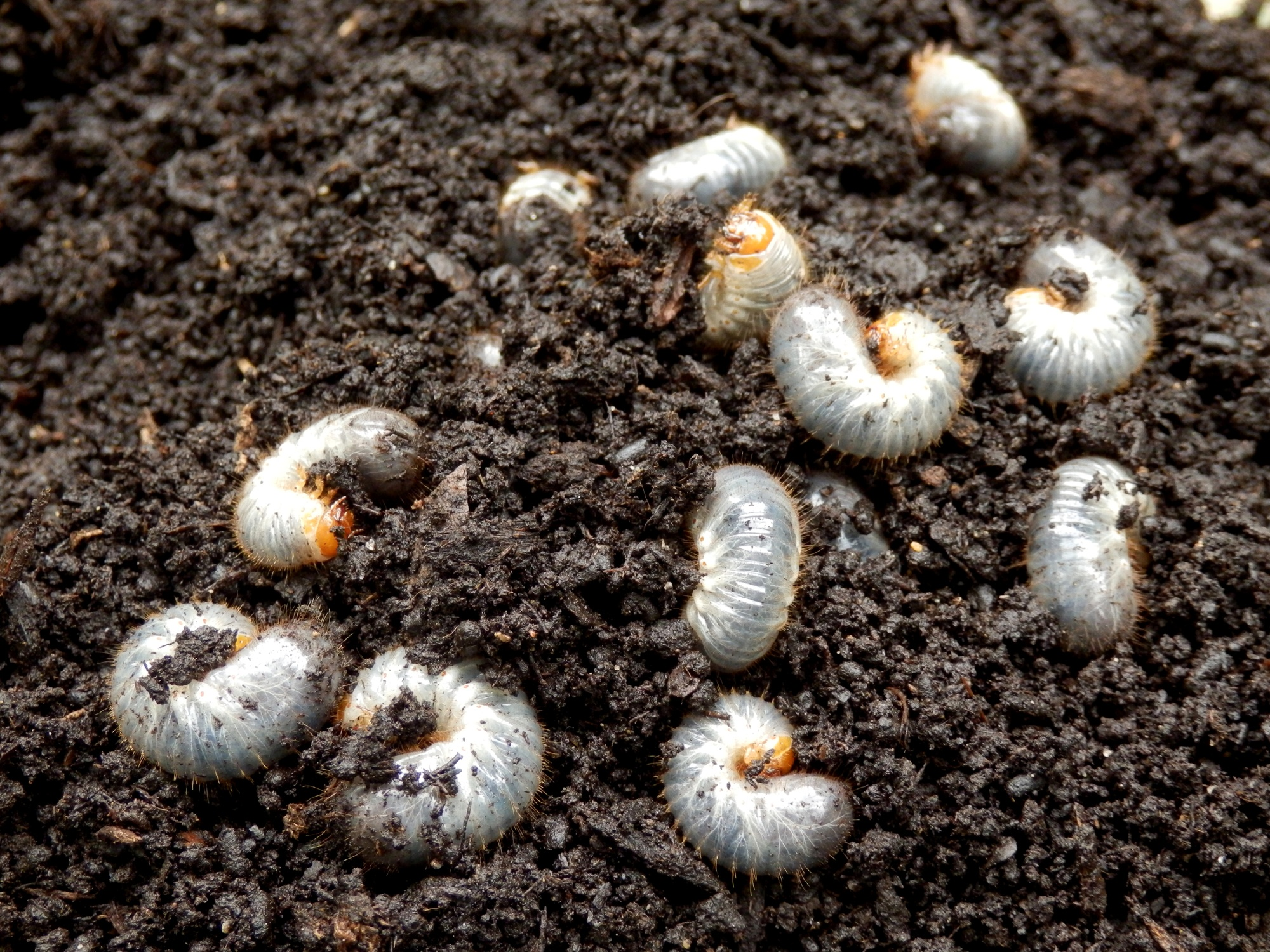 Most homeowners don't know that white grubs are present until they suffer significant turf loss from secondary pests.