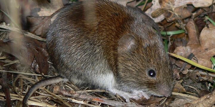 Voles are rodents similar in size to mice.