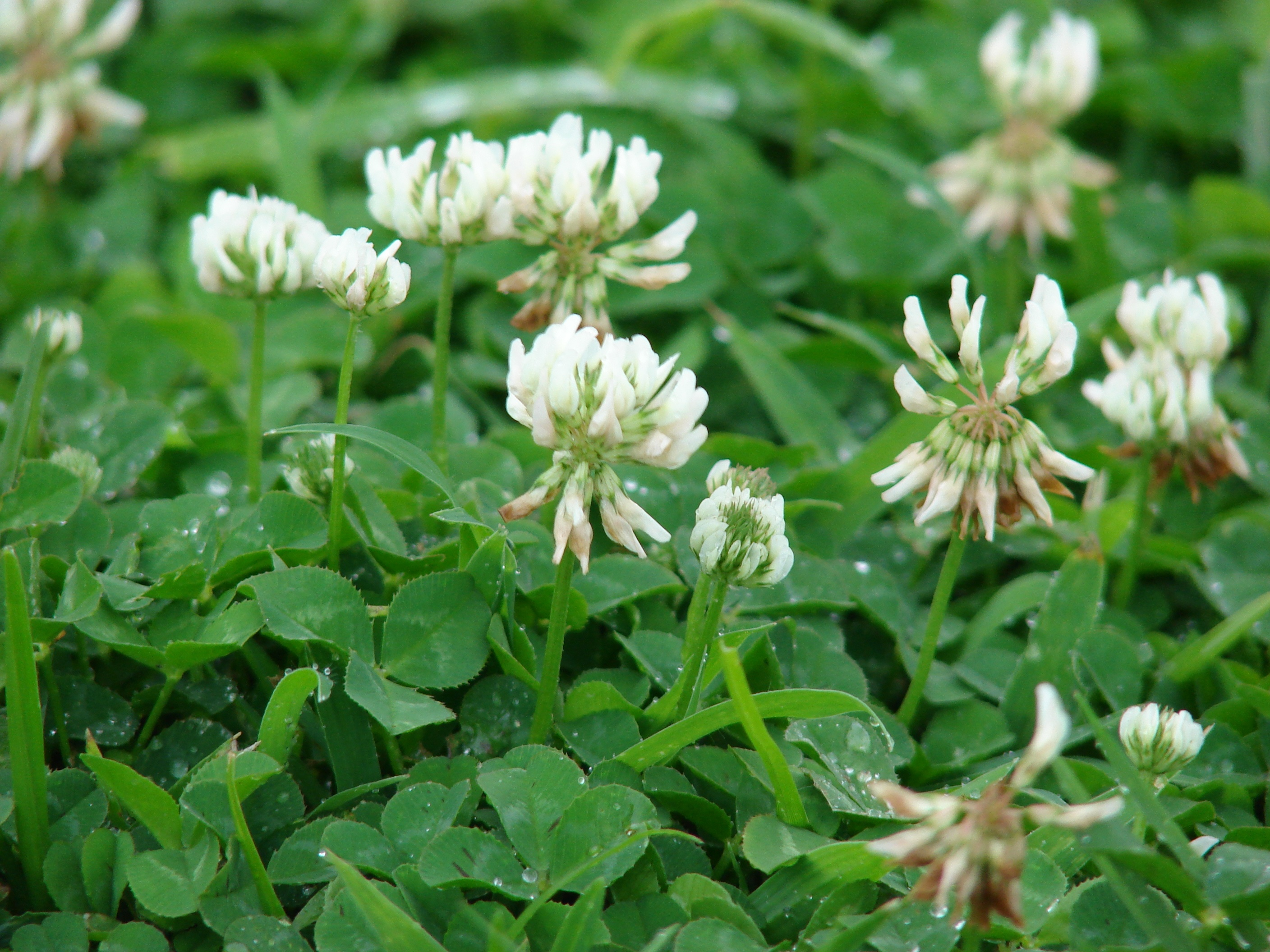 how to get rid of white clover in your lawn