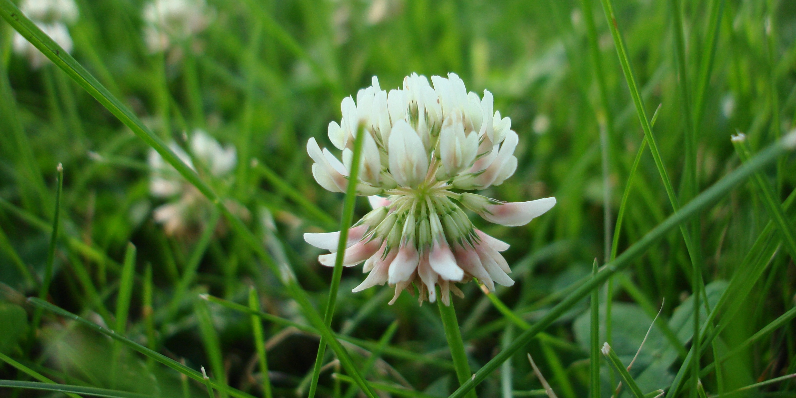 Clover can come in different colours such as white, purple and pink and can easily be identified by their leaves which group into 3 or 4's.