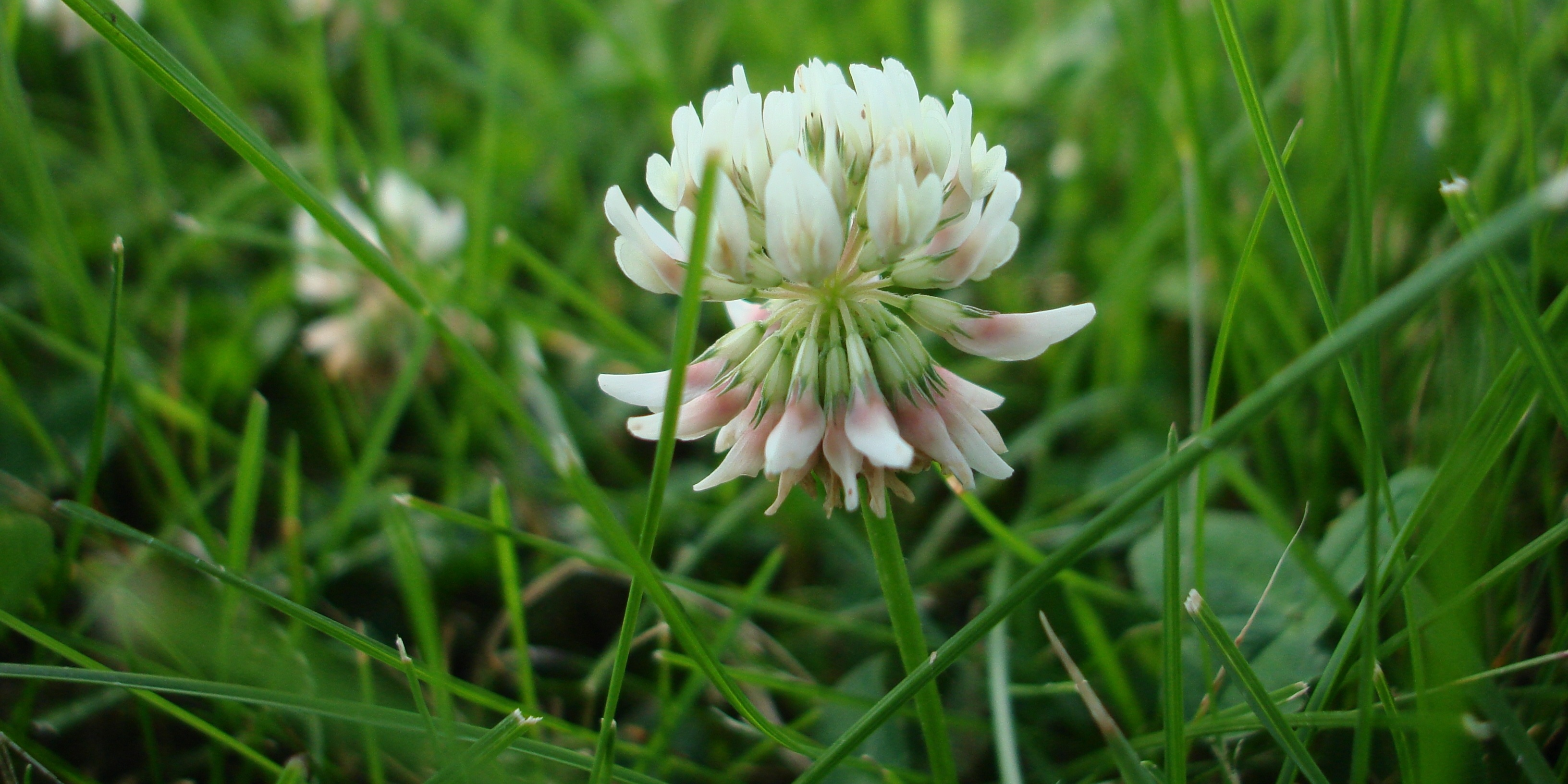 Although some homeowners might not want White Clover in their lawns, others actually plant White Clover in place of grass.