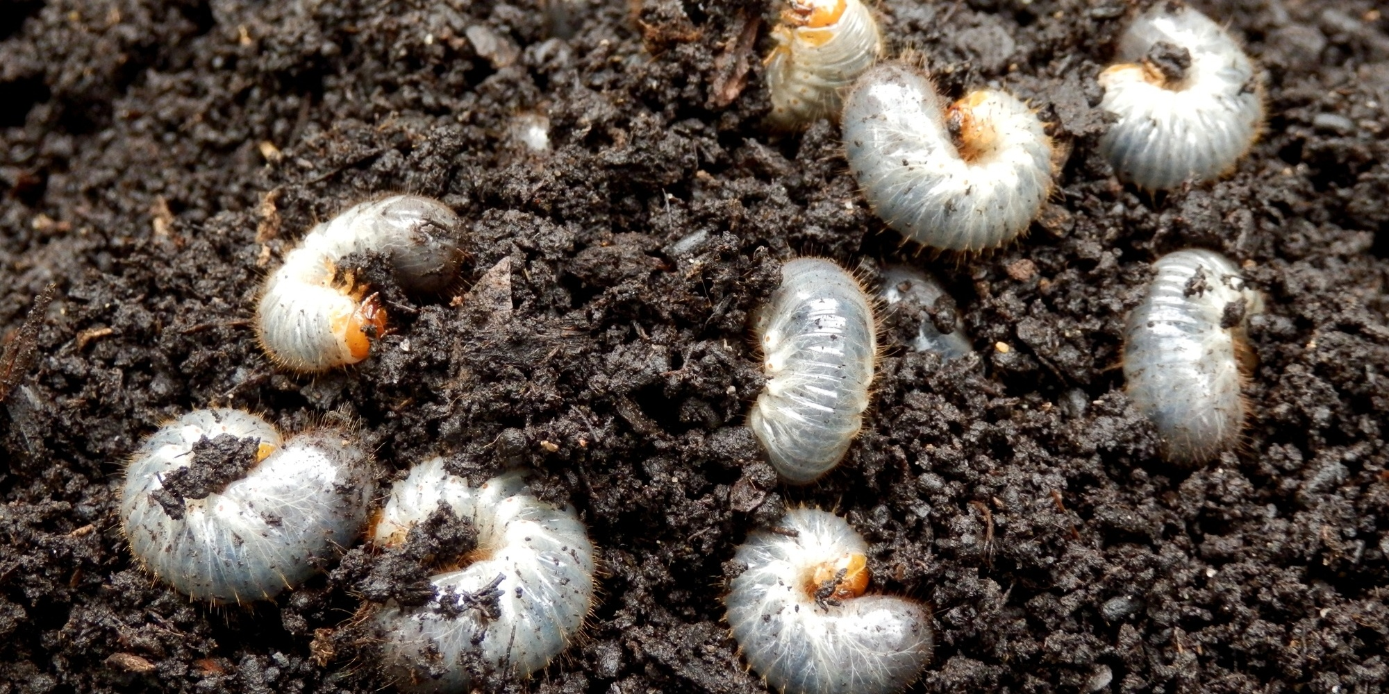 Check for white grubs in fall.
