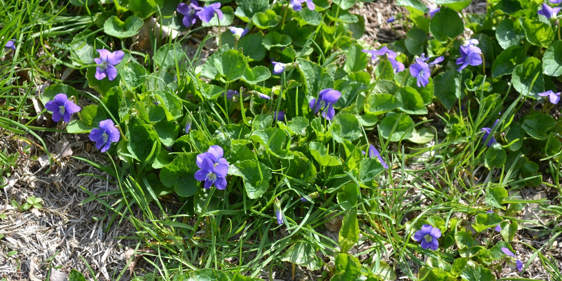 Wild Violet is another perennial broadleaf weed that favours shady, moist areas but can grow in full sunlight, too.