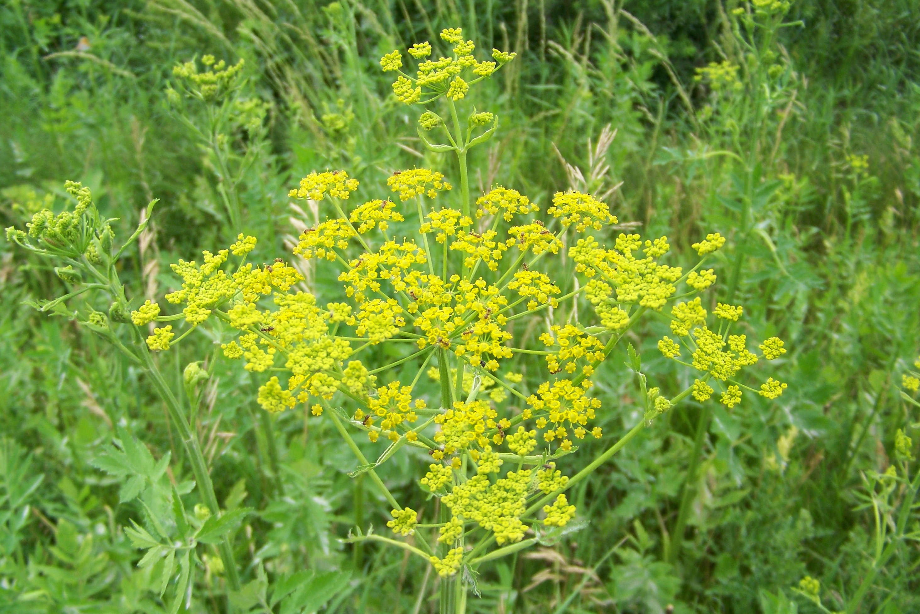 New construction sites are particularly prone to wild parsnip.