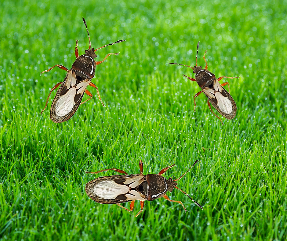 It's Chinch Bug Season In Canada! - Featured Image