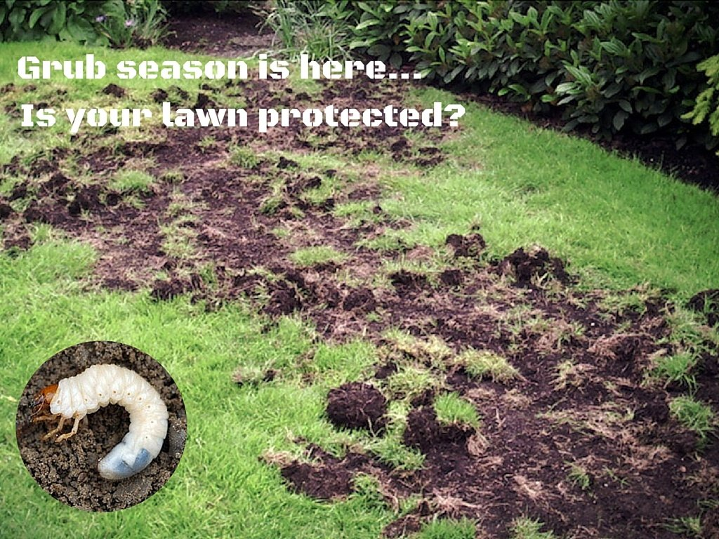 Monitoring Your Lawn For Grubs - Featured Image