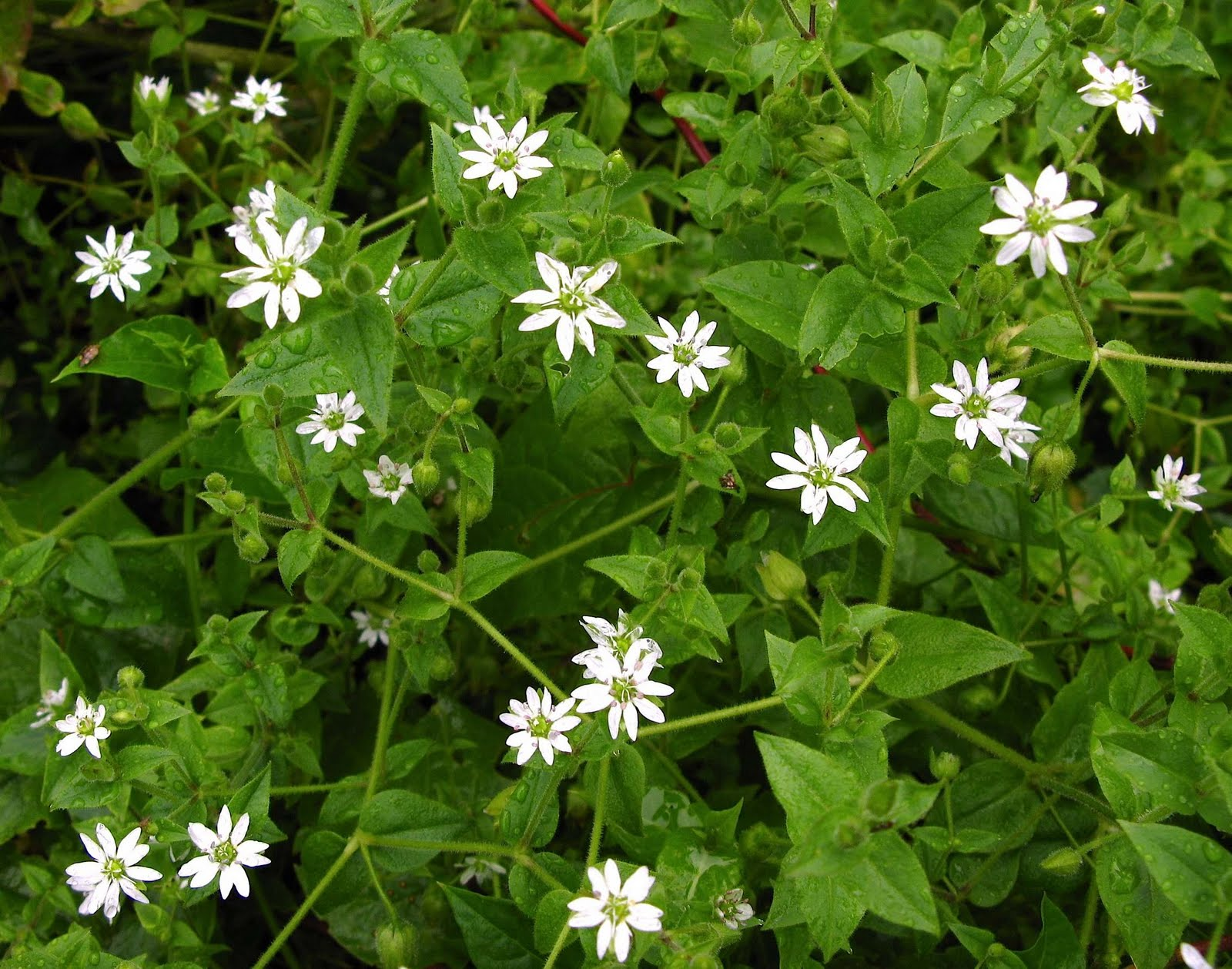 Weed of the Week - Common Chickweed - Featured Image